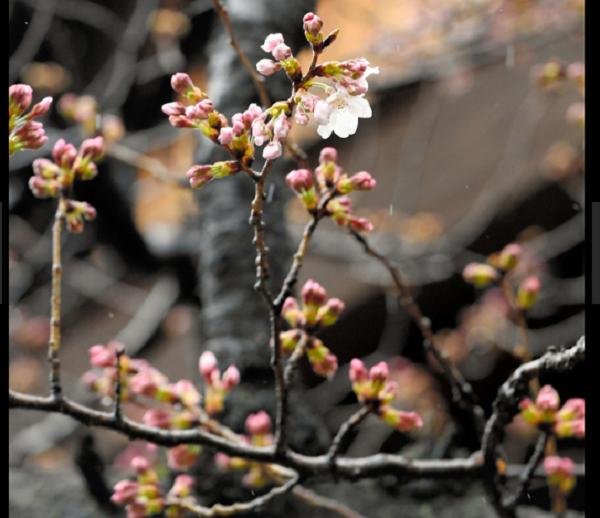 桜2017.3.21